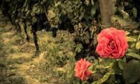 rosa e vigna
